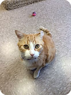 Domestic Shorthair Cat for adoption in Byron Center, Michigan - Frank