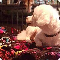 Adopt A Pet :: Benedict - Morganville, NJ