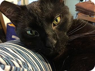 Domestic Shorthair Cat for adoption in Bowie, Maryland - Lucas