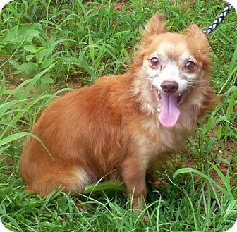 Chihuahua Mix Dog for adoption in Livingston, Texas - Bandit
