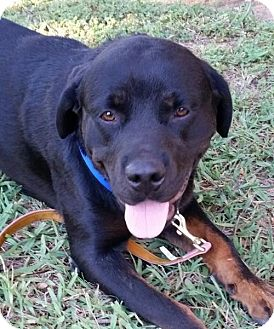 Rottweiler Dog for adoption in Fresno, California - Gem