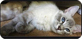 Siamese Cat for adoption in Orange, California - Mama Sumi