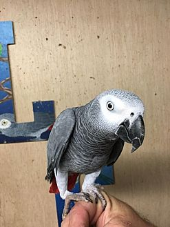 African Grey for adoption in Woodbridge, New Jersey - Jakers
