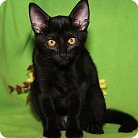 Domestic Shorthair Cat for adoption in Marietta, Ohio - Prince (Neutered)