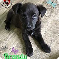 Catahoula Leopard Dog/Labrador Retriever Mix Puppy for adoption in South Mills, North Carolina - Brandy