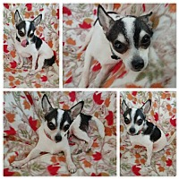 Chihuahua Dog for adoption in Baton Rouge, Louisiana - Alejandro