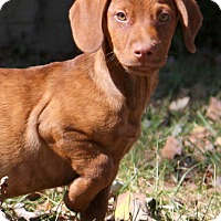 Dachshund/Labrador Retriever Mix Puppy for adoption in Glastonbury, Connecticut - Colt