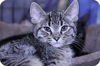 Domestic Shorthair Kitten for adoption in Mankato, Minnesota - Bugaloo