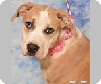 Boxer Mix Dog for adoption in Pittsboro, North Carolina - Iris