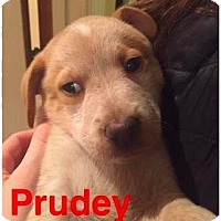 Adopt A Pet :: Prudey - Mission, KS