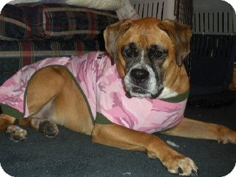 Boxer Dog for adoption in Grafton, Massachusetts - Marla - The Love Bug