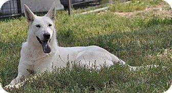 German Shepherd Dog Mix Dog for adoption in Dodson, Montana - Aya