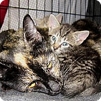 Domestic Shorthair Kitten for adoption in Lawrenceville, New Jersey - Fosters Needed