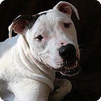 Adopt A Pet :: Emmie Rose - Austin, TX