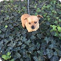 Adopt A Pet :: Spike - Anaheim, CA