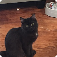 Adopt A Pet :: Mittens - Kelso/Longview, WA