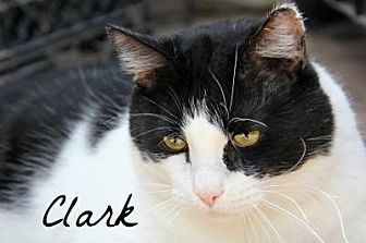 Domestic Mediumhair Cat for adoption in Centerton, Arkansas - Clark