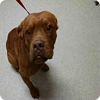 Adopt A Pet :: A1010159 is IN DANGER AT THE BAKERSF - Beverly Hills, CA