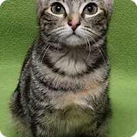 Adopt A Pet :: Bebe the Bengle - Round Rock, TX