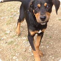Adopt A Pet :: Denver, handsome and loving ba - Snohomish, WA