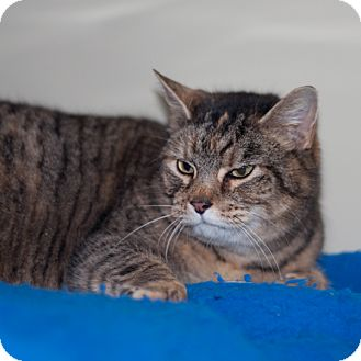 Domestic Shorthair Cat for adoption in New Martinsville, West Virginia - Tawney