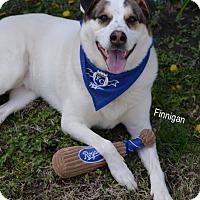 Adopt A Pet :: Finnigan - Independence, MO