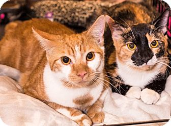 Calico Kitten for adoption in Brooklyn, New York - Ruby & Jill, Sweetie-pie Sisters