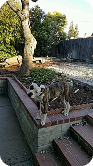 American Bulldog Mix Puppy for adoption in Auburn, California - Gemma