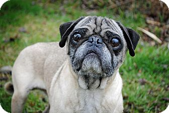 Pug Mix Dog for adoption in Rochester Hills, Michigan - Milo