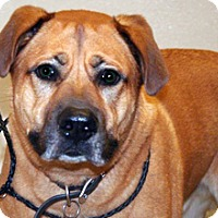 Shepherd (Unknown Type) Mix Dog for adoption in Wildomar, California - Rusty