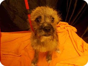 Miniature Schnauzer Mix Puppy for adoption in Upper Marlboro, Maryland - BASH