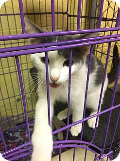 Domestic Shorthair Kitten for adoption in Richboro, Pennsylvania - Penny