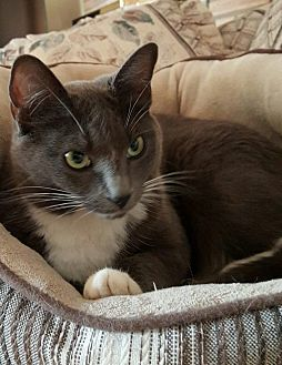 Domestic Shorthair Cat for adoption in Portland, Oregon - Nube