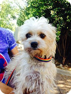 Cairn Terrier/Terrier (Unknown Type, Small) Mix Dog for adoption in Pacific Palisades, California - PEBBLES