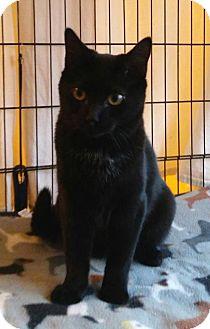 Domestic Shorthair Cat for adoption in Templeton, Massachusetts - Haley