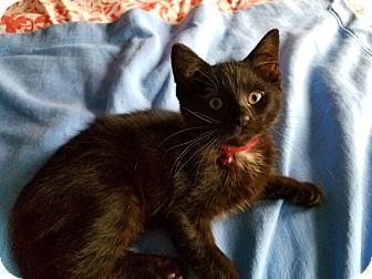 Domestic Shorthair Kitten for adoption in Jeannette, Pennsylvania - Rowdy