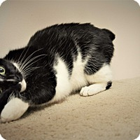 Adopt A Pet :: Blackberry - Seattle, WA