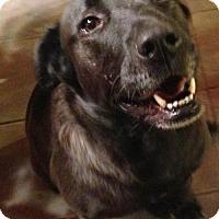 Adopt A Pet :: Shesha - Boston, MA