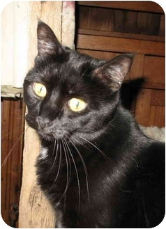 Domestic Shorthair Cat for adoption in Cincinnati, Ohio - Chloe
