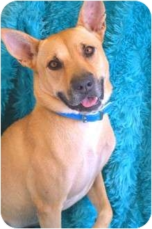 Australian Cattle Dog/Shepherd (Unknown Type) Mix Dog for adoption in Phoenix, Arizona - LUCY LUE