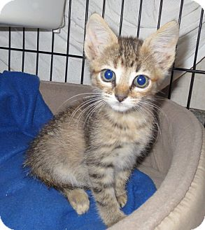 Domestic Shorthair Kitten for adoption in Geneseo, Illinois - Cece