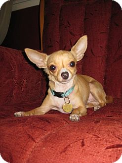 Chihuahua Mix Dog for adoption in Studio City, California - Dosa (4 lbs)