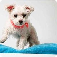 Adopt A Pet :: Lil Blue - New York, NY