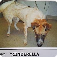 Adopt A Pet :: Cinderella - Las Vegas, NV