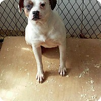 Adopt A Pet :: CREAM PUFF - middle island, NY