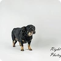 Adopt A Pet :: Pert - North Myrtle Beach, SC
