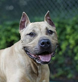 Pit Bull Terrier Mix Dog for adoption in Port Washington, New York - Harry