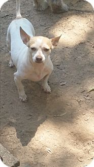 Chihuahua Mix Dog for adoption in Pikeville, Maryland - Simone