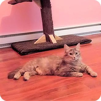 Domestic Shorthair Cat for adoption in Verdun, Quebec - Gaia