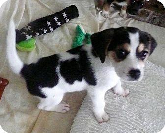 Beagle Mix Puppy for adoption in Cranston, Rhode Island - Chickfila-adoption pending